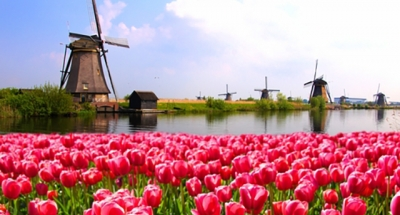 Floraison des tulipes