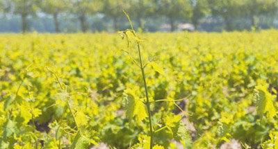 Vignes en Bourgogne
