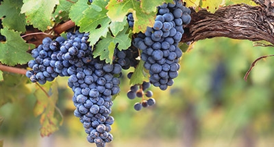 Vignoble en Aquitaine