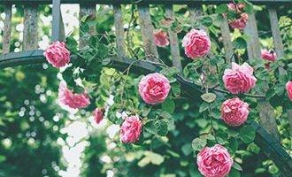Roses suspendues sur des treillis